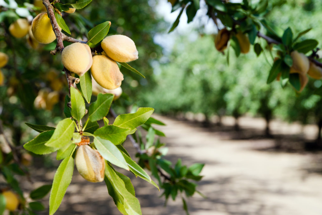 Almond Farming